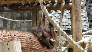 Cute baby orangutan playing with a piece of wood