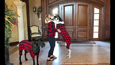 Great Danes Get Dressed In Buffalo Plaid PJs to Stay Warm in Cold Florida