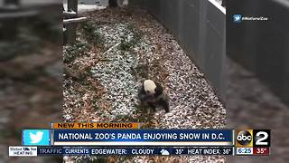 National Zoo panda Mei Xiang frolicks in the snow