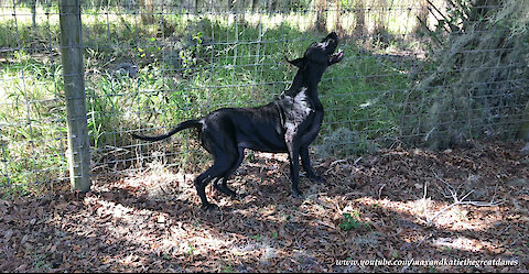 Funny Great Dane Loves To Lean And Scratch On The Fence