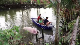 Kids in rowing boat try to catch runaway pig stuck in river - Video