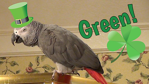Lucky parrot is in the St. Patrick's Day spirit
