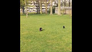 Crow attacks intruding dachshund - Video