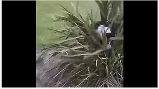 Border Collie takes out frustration on innocent bush - Video