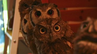 Japanese Owl Cafe
