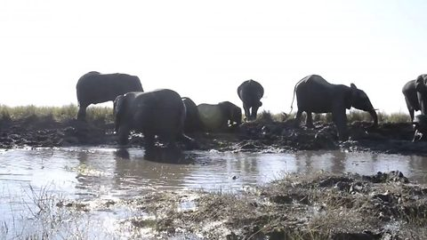 Baby elephant almost sat on by mum as it gets stuck in mud bath