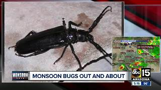 Monsoon bugs out and about in the Valley - Video