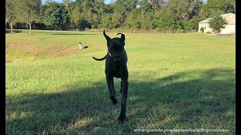 Excited Great Danes Coming Running for Cat Treats
