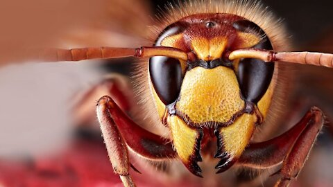 How to Survive Murder Hornets