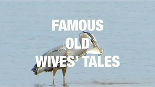 Famous Old Wives' Tales Put to Task