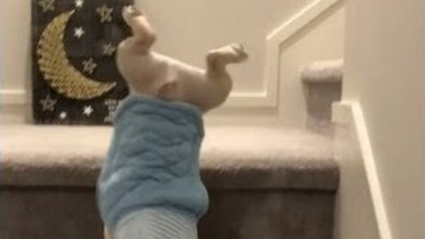 Adorable French Bulldog Performs Unexpected Handstand Down Stairs