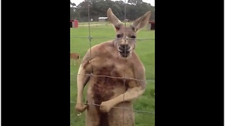 Tough Kangaroo On Steroids Flexes Muscles For Camera - Video