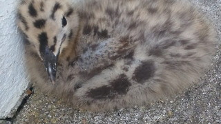 Baby seagull falls from nest, brave dad returns it - Video