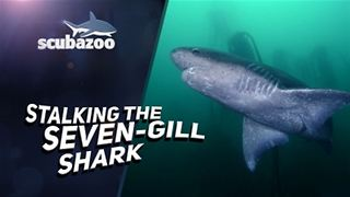 The Mysterious Sevengill Sharks Are Dinosaurs Living Among Us - Video
