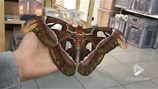 The Biggest Moth In The World Will Charm You With Its Beauty  - Video