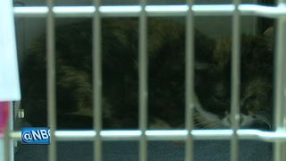 Wisconsin Humane Society rescues dozens of cats from hoarding situation - Video