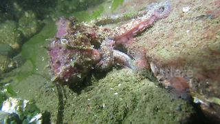 Red octopus goes hunting for food - Video