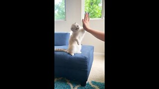 Cool 2-year-old cat gives high fives to his US owner