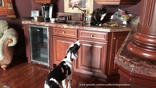 Barking Great Dane puppy pesters cats to play