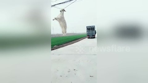 Goat hangs from power line by its horns after jumping from transport lorry
