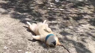 Tired Pupper Cuts His Morning Walk Short For A Power Nap - Video