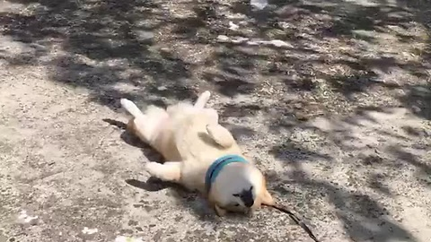 Tired Pupper Cuts His Morning Walk Short For A Power Nap