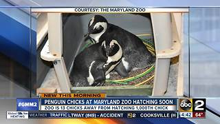 Maryland Zoo expecting new chick after spotting egg under penguin - Video