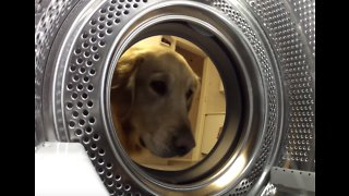 Golden Retrieves Beloved Teddy from the Washing Machine - Video