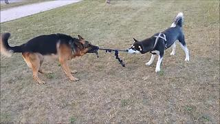 Tug-of-war battle of wits: Alaskan Malamute vs. German Shepherd