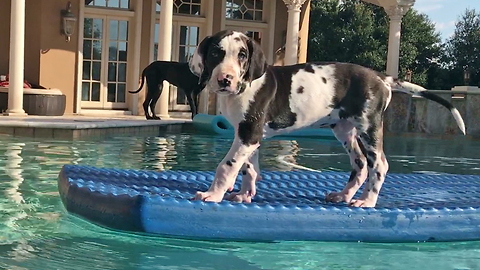 8-week-old Great Dane goes for his first swim