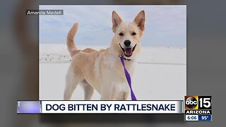 Dog bitten by a rattlesnake in the Superstition Mountains