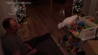 Friendly Cockatoo Plays Game With Owner - Video