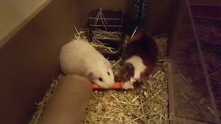 Guinea Pigs Fight Over A Carrot - Video