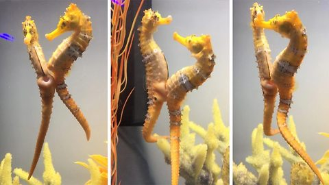 Get a room! – Fascinating video shows sea horses mating