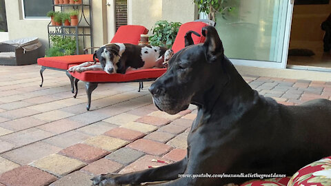 Laid back Great Danes relax on patio cushions