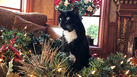 Tuxedo Cat Gets Decorated with Christmas Garland *