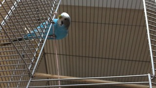 Rocky the parakeet shows off rope climbing skills  - Video