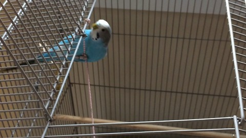 Rocky the parakeet shows off rope climbing skills