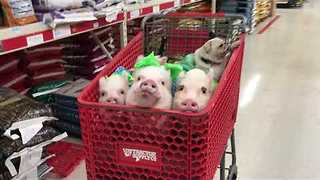 Pigs Share Trolley With Pug During Shopping Trip - Video
