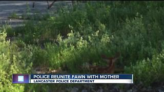 Lancaster Police help injured fawn - Video