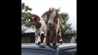 Cheeky Goat Kids Play On Roof Of Texas Man's Car