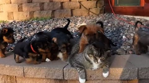 Cat Gets Swarmed By Adorable Puppies, Reacts In The Cutest Possible Way