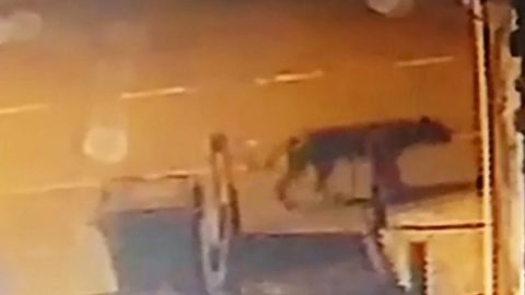 The beast of Birmingham? Residents left terrified after big cat caught on camera roaming around bins