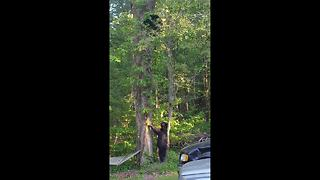 Territorial mother bear chases other family away