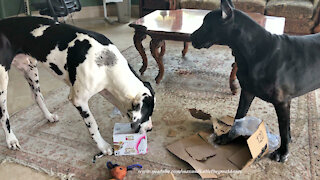Great Danes Use Teamwork To Open An Amazon Box Of Cat Food