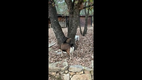 Westie hilariously plays epic hide-and-seek game with goat
