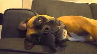 Howling Boxer Takes Out Frustrations on the Couch - Video