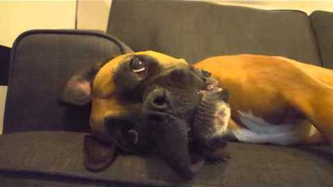Howling Boxer Takes Out Frustrations on the Couch