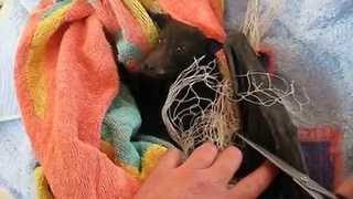 Wildlife Carer Gently Rescues Cute Bat From Net - Video