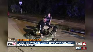 Deputies, Officers Catch 350-Pound Gator - Video